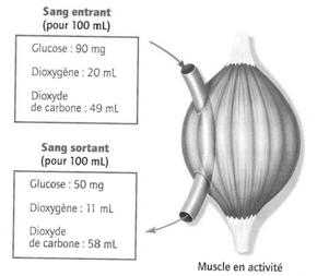 echange muscle