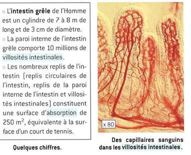 microintestin