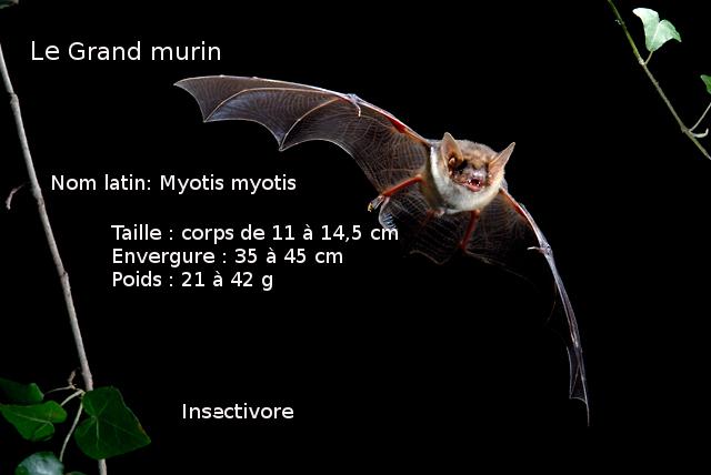 Grand-murin_2008_1