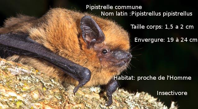 photo-Pipistrelle-commune-2