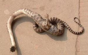serpent a patte